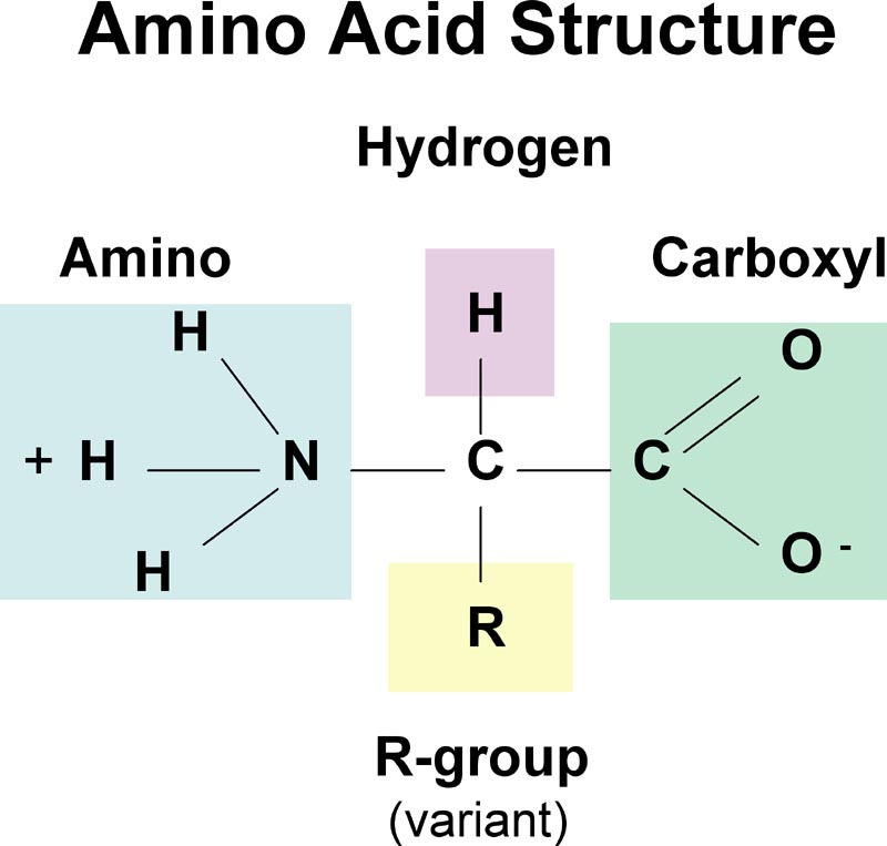 Plant Sources of Protein Building Blocks (Amino Acids)